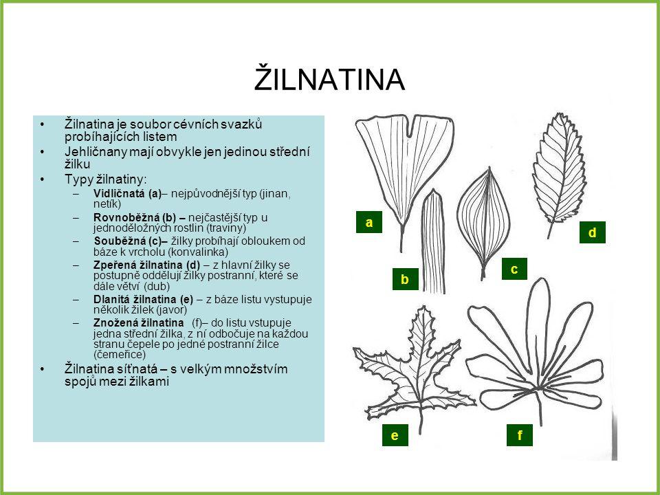 ŽILNATINA Žilnatina je soubor cévních svazků probíhajících listem Jehličnany mají obvykle jen jedinou střední žilku Typy žilnatiny: –Vidličnatá (a)– n