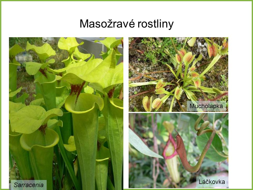 Masožravé rostliny Sarracenia Mucholapka Láčkovka