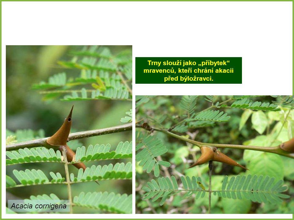 """Trny slouží jako """"příbytek"""" mravenců, kteří chrání akacii před býložravci. Acacia cornigena"""
