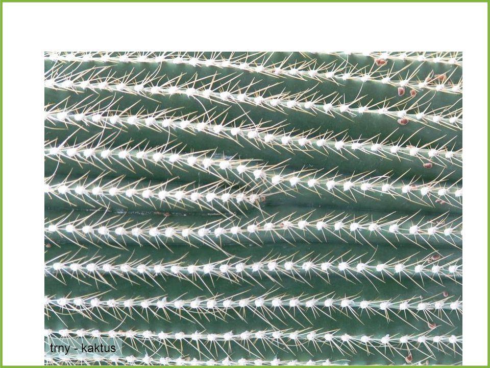 trny - kaktus