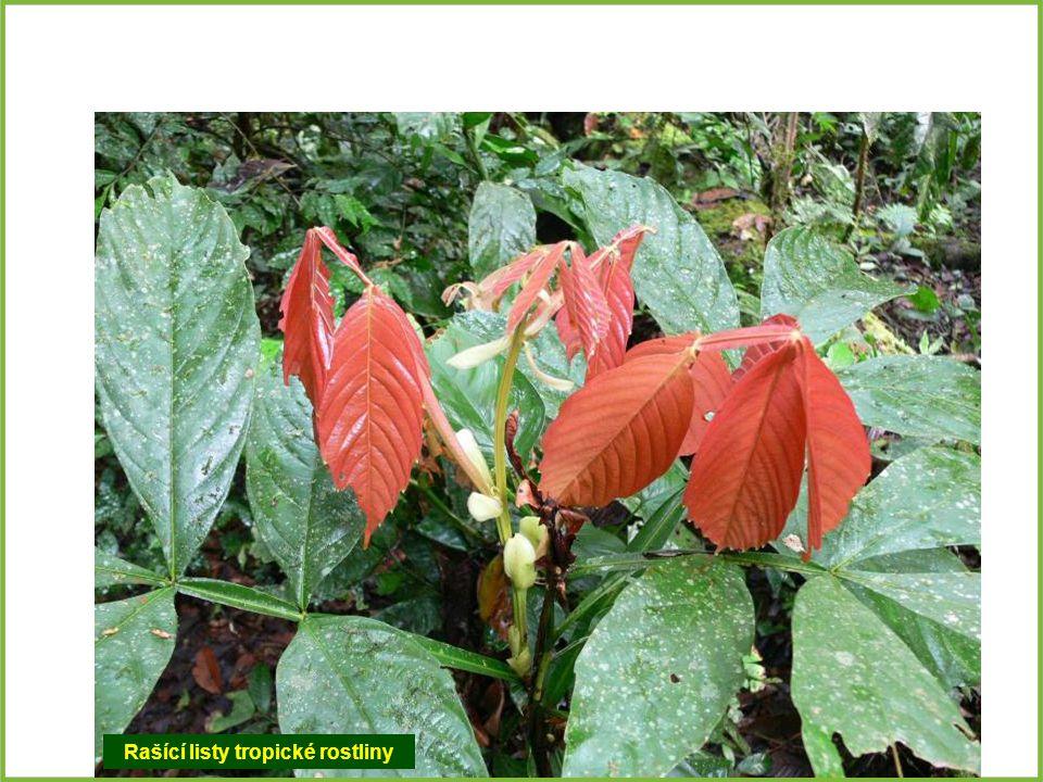 Rašící listy tropické rostliny