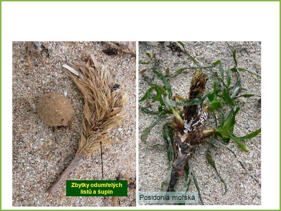 Posidonia mořská Zbytky odumřelých listů a šupin