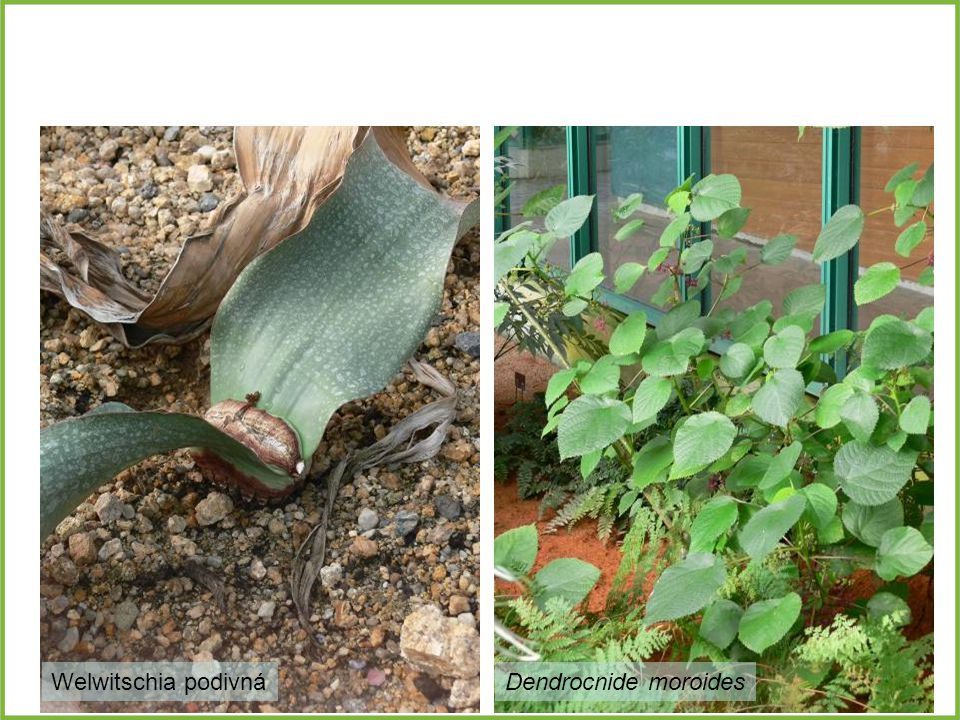 Dendrocnide moroidesWelwitschia podivná