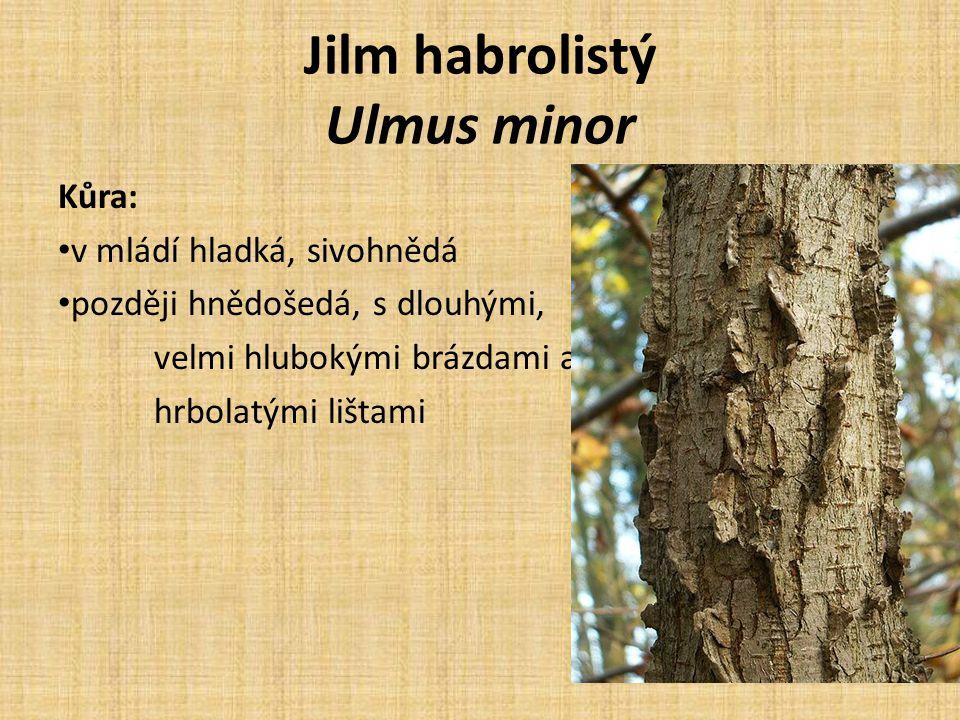 Jilm habrolistý Ulmus minor Kůra: v mládí hladká, sivohnědá později hnědošedá, s dlouhými, velmi hlubokými brázdami a hrbolatými lištami