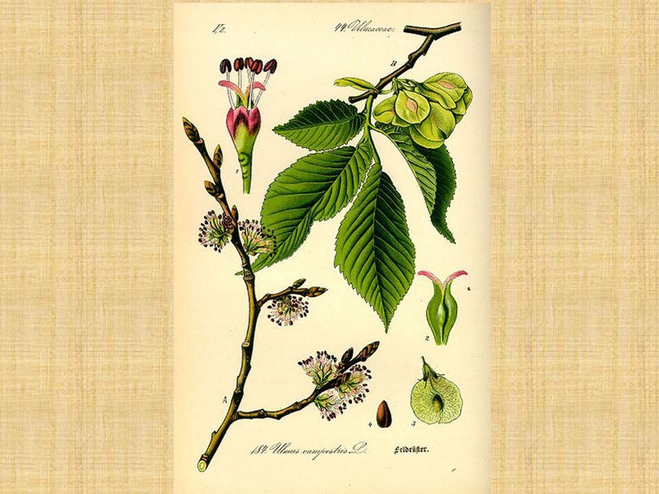 Jilm habrolistý Ulmus minor Plody: obvejčité, podlouhlé malá 5 – 7 mm velká nažka, čočkovitá, hnědá, dokola okřídlená křídlo je obráceně vejčité, světlohnědé, blanité nažka je posunuta k horní třetině křídla (jednoznačně nad středem) dozrává v květnu až červnu potom postupně opadává