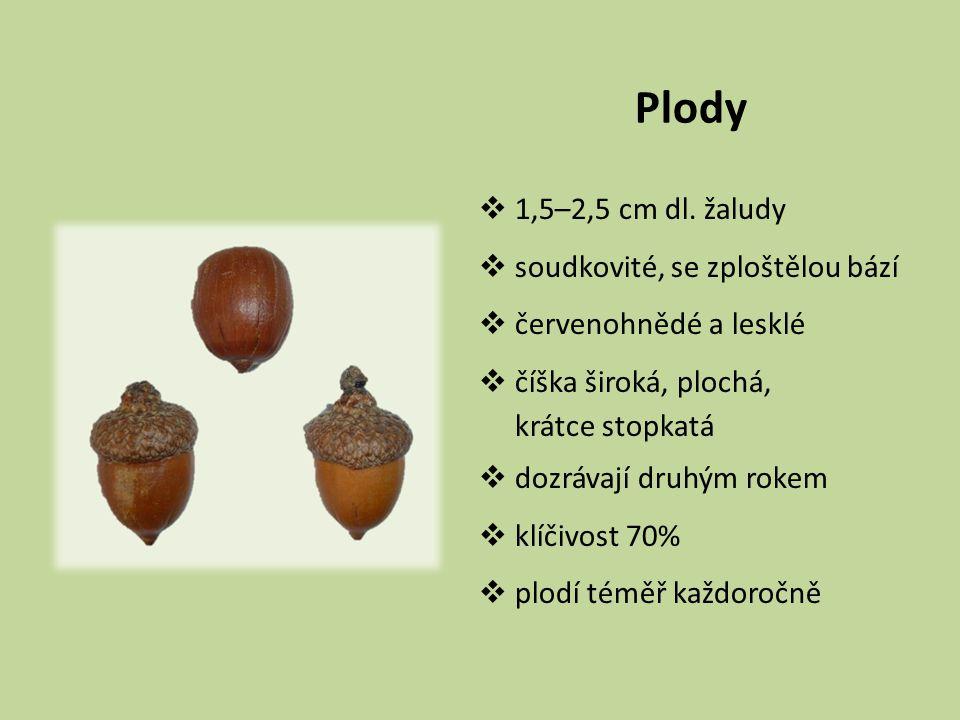 Plody  1,5–2,5 cm dl. žaludy  soudkovité, se zploštělou bází  červenohnědé a lesklé  číška široká, plochá, krátce stopkatá  dozrávají druhým roke