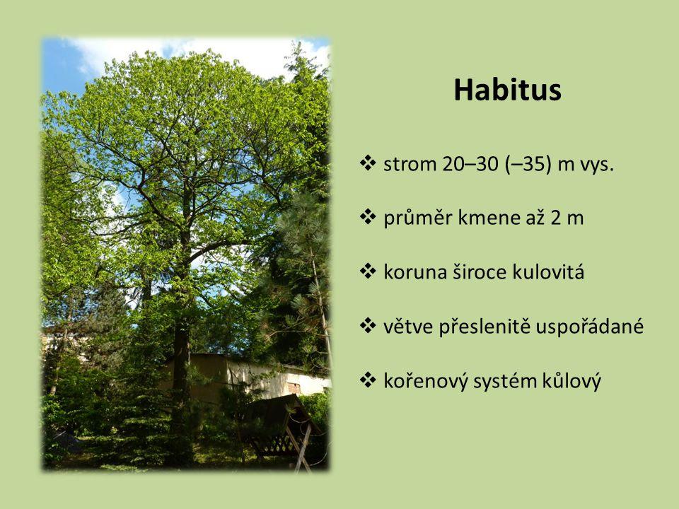 Habitus  strom 20–30 (–35) m vys.  průměr kmene až 2 m  koruna široce kulovitá  větve přeslenitě uspořádané  kořenový systém kůlový