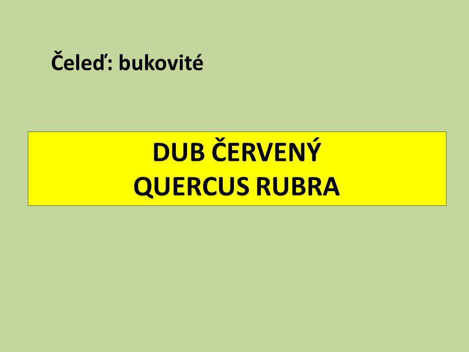 DUB ČERVENÝ QUERCUS RUBRA Čeleď: bukovité