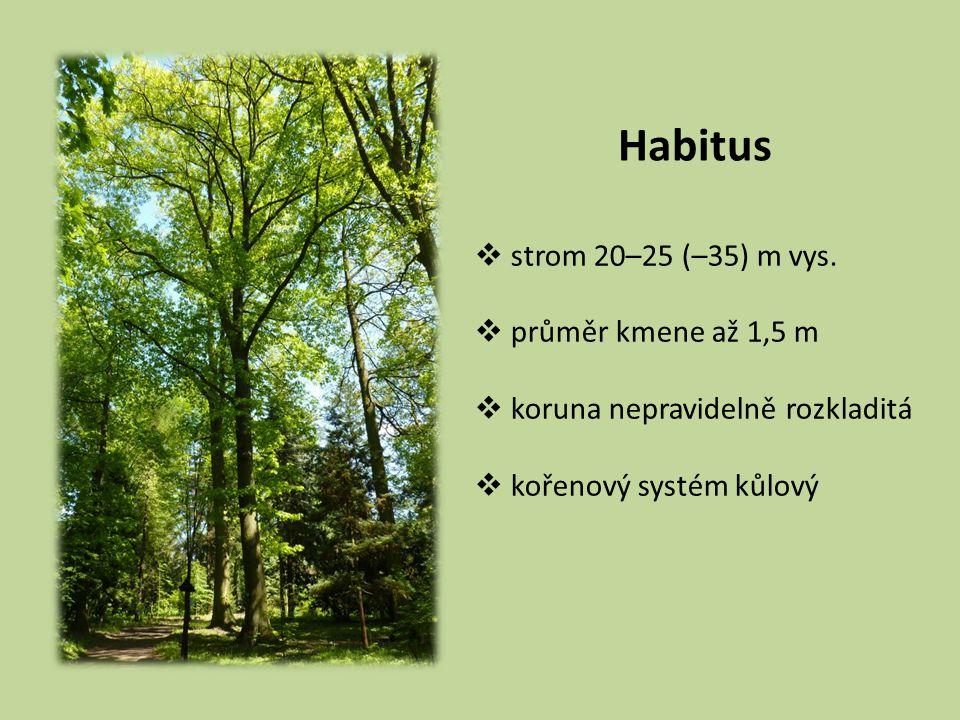 Habitus  strom 20–25 (–35) m vys.  průměr kmene až 1,5 m  koruna nepravidelně rozkladitá  kořenový systém kůlový