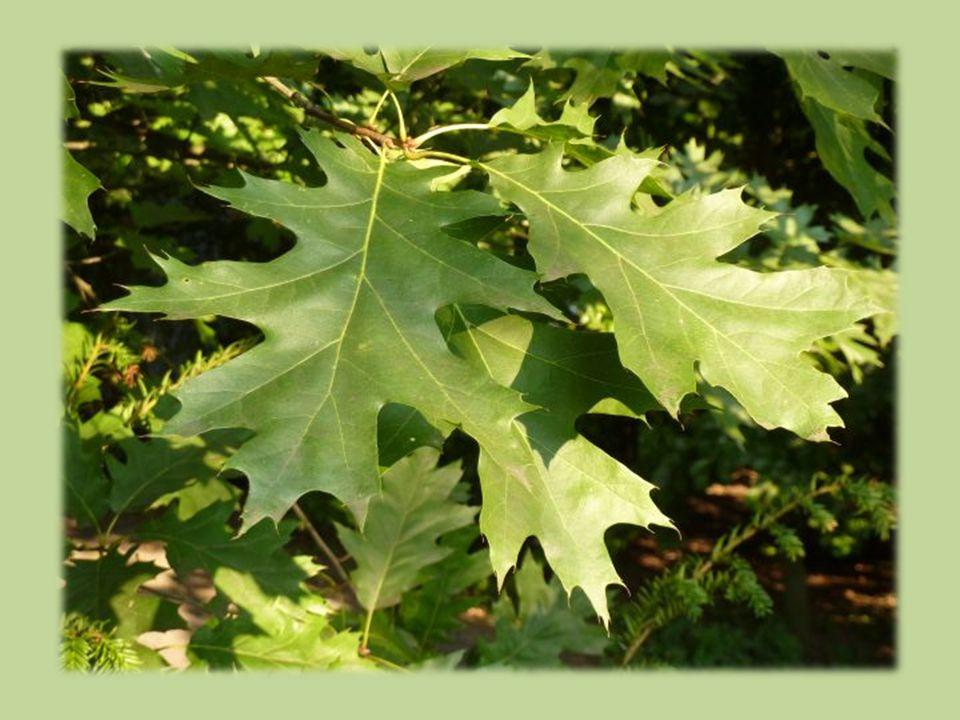 Úkoly na příště 1.Vyhledejte další severoamerické druhy dubů, které se vyskytují u nás.