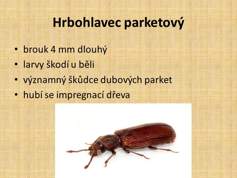 Hrbohlavec parketový brouk 4 mm dlouhý larvy škodí u běli významný škůdce dubových parket hubí se impregnací dřeva