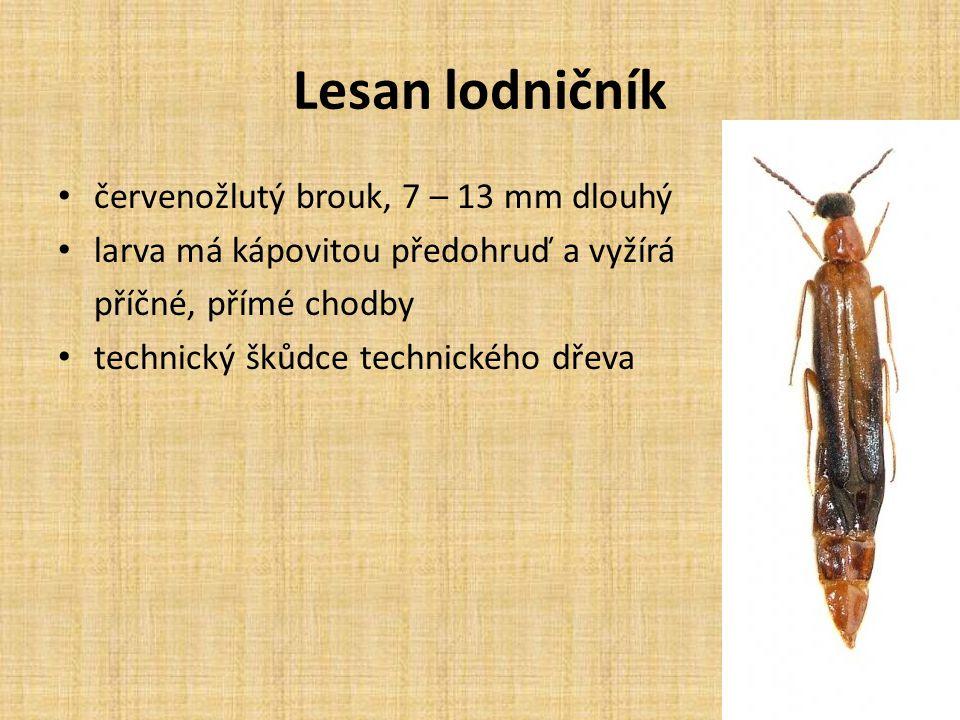 Lesan lodničník červenožlutý brouk, 7 – 13 mm dlouhý larva má kápovitou předohruď a vyžírá příčné, přímé chodby technický škůdce technického dřeva