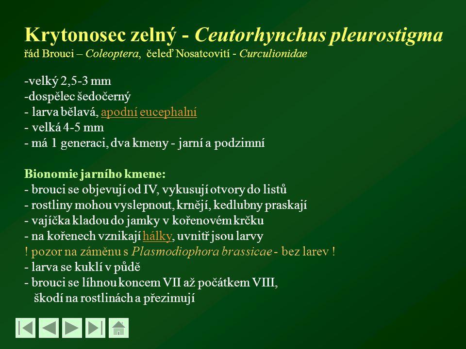 Krytonosec zelný - Ceutorhynchus pleurostigma řád Brouci – Coleoptera, čeleď Nosatcovití - Curculionidae -velký 2,5-3 mm -dospělec šedočerný - larva bělavá, apodní eucephalníapodníeucephalní - velká 4-5 mm - má 1 generaci, dva kmeny - jarní a podzimní Bionomie jarního kmene: - brouci se objevují od IV, vykusují otvory do listů - rostliny mohou vyslepnout, krnějí, kedlubny praskají - vajíčka kladou do jamky v kořenovém krčku - na kořenech vznikají hálky, uvnitř jsou larvyhálky .