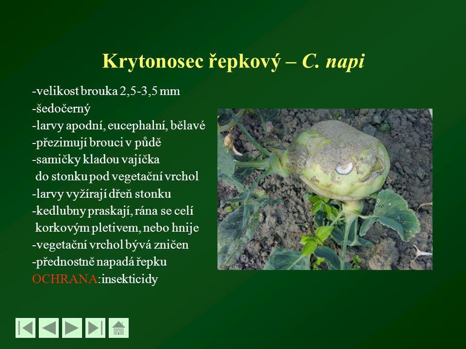 Krytonosec řepkový – C.