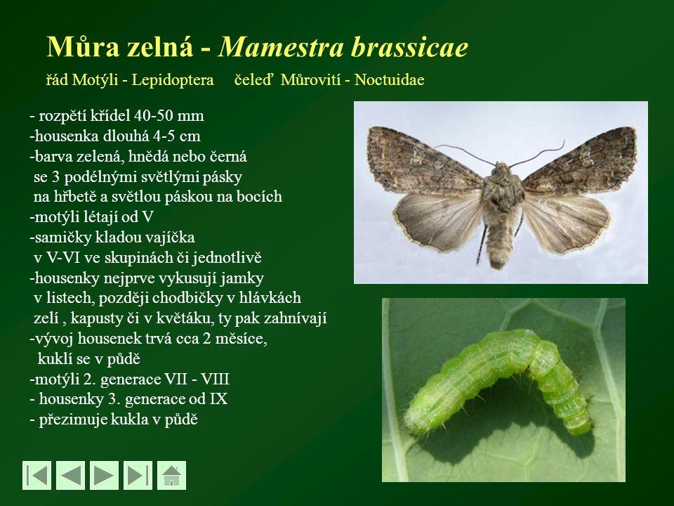 Můra zelná - Mamestra brassicae řád Motýli - Lepidoptera čeleď Můrovití - Noctuidae - rozpětí křídel 40-50 mm -housenka dlouhá 4-5 cm -barva zelená, hnědá nebo černá se 3 podélnými světlými pásky na hřbetě a světlou páskou na bocích -motýli létají od V -samičky kladou vajíčka v V-VI ve skupinách či jednotlivě -housenky nejprve vykusují jamky v listech, později chodbičky v hlávkách zelí, kapusty či v květáku, ty pak zahnívají -vývoj housenek trvá cca 2 měsíce, kuklí se v půdě -motýli 2.