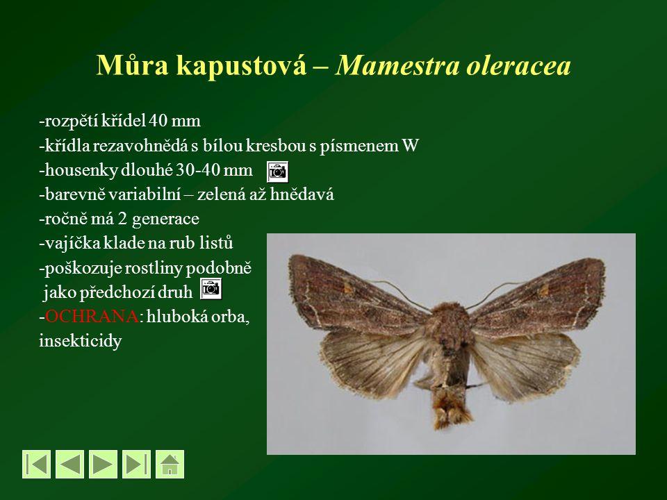 Můra kapustová – Mamestra oleracea -rozpětí křídel 40 mm -křídla rezavohnědá s bílou kresbou s písmenem W -housenky dlouhé 30-40 mm -barevně variabilní – zelená až hnědavá -ročně má 2 generace -vajíčka klade na rub listů -poškozuje rostliny podobně jako předchozí druh -OCHRANA: hluboká orba, insekticidy
