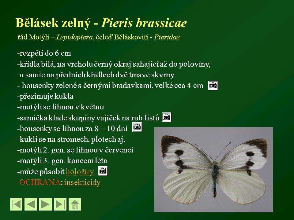 Bělásek zelný - Pieris brassicae řád Motýli – Lepidoptera, čeleď Běláskovití - Pieridae -rozpětí do 6 cm -křídla bílá, na vrcholu černý okraj sahající až do poloviny, u samic na předních křídlech dvě tmavé skvrny - housenky zelené s černými bradavkami, velké cca 4 cm -přezimuje kukla -motýli se líhnou v květnu -samička klade skupiny vajíček na rub listů -housenky se líhnou za 8 – 10 dní -kuklí se na stromech, plotech aj.