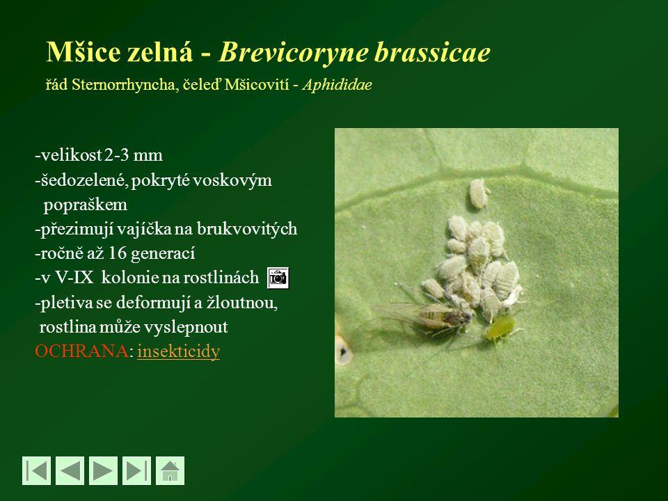 Mšice zelná - Brevicoryne brassicae řád Sternorrhyncha, čeleď Mšicovití - Aphididae -velikost 2-3 mm -šedozelené, pokryté voskovým popraškem -přezimují vajíčka na brukvovitých -ročně až 16 generací -v V-IX kolonie na rostlinách -pletiva se deformují a žloutnou, rostlina může vyslepnout OCHRANA: insekticidyinsekticidy