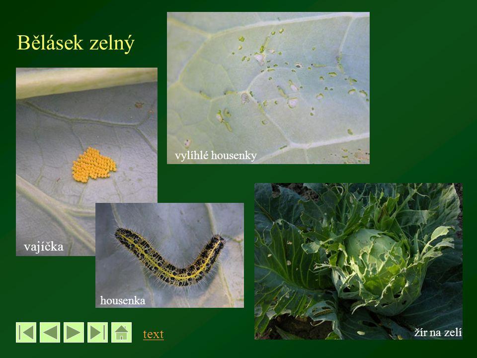 Bělásek zelný vajíčka housenka žír na zelí vylíhlé housenky text
