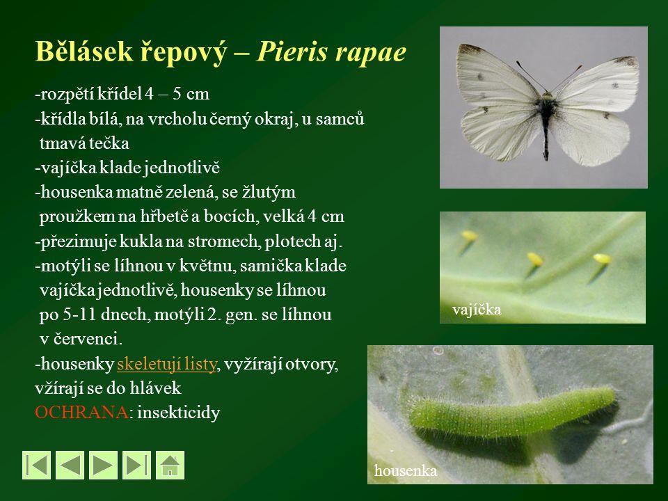 Bělásek řepový – Pieris rapae -rozpětí křídel 4 – 5 cm -křídla bílá, na vrcholu černý okraj, u samců tmavá tečka -vajíčka klade jednotlivě -housenka matně zelená, se žlutým proužkem na hřbetě a bocích, velká 4 cm -přezimuje kukla na stromech, plotech aj.