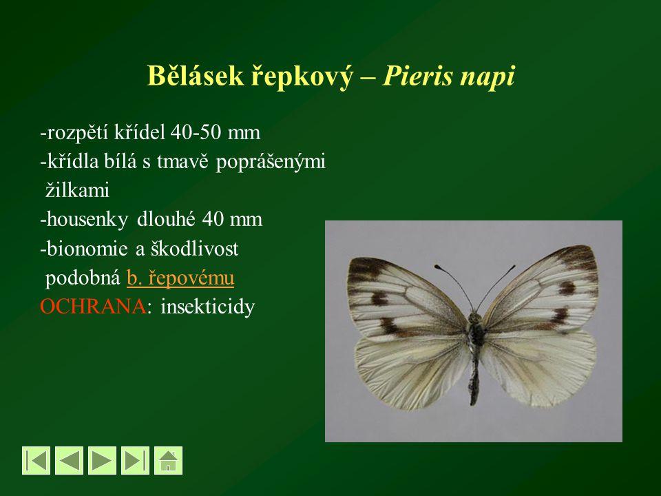 Bělásek řepkový – Pieris napi -rozpětí křídel 40-50 mm -křídla bílá s tmavě poprášenými žilkami -housenky dlouhé 40 mm -bionomie a škodlivost podobná b.