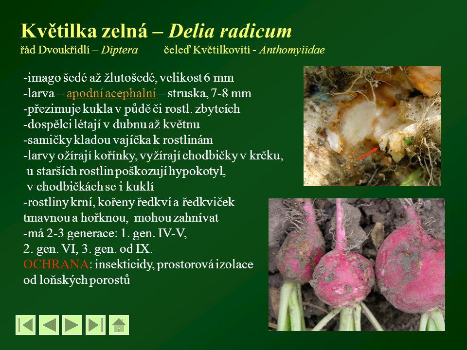 Květilka zelná – Delia radicum řád Dvoukřídlí – Diptera čeleď Květilkovití - Anthomyiidae -imago šedé až žlutošedé, velikost 6 mm -larva – apodní acephalní – struska, 7-8 mmapodní acephalní -přezimuje kukla v půdě či rostl.