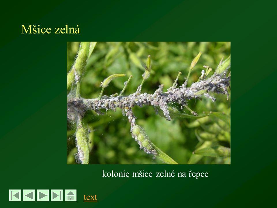 Mšice zelná kolonie mšice zelné na řepce text