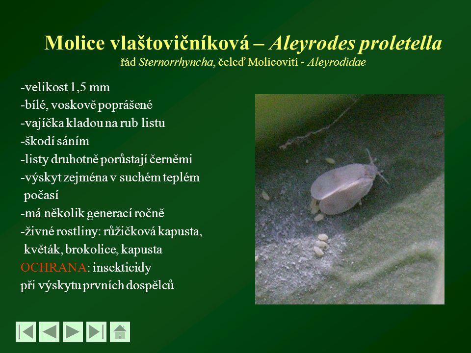 Molice vlaštovičníková – Aleyrodes proletella řád Sternorrhyncha, čeleď Molicovití - Aleyrodidae -velikost 1,5 mm -bílé, voskově poprášené -vajíčka kladou na rub listu -škodí sáním -listy druhotně porůstají černěmi -výskyt zejména v suchém teplém počasí -má několik generací ročně -živné rostliny: růžičková kapusta, květák, brokolice, kapusta OCHRANA: insekticidy při výskytu prvních dospělců