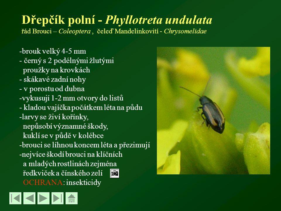 Dřepčík polní - Phyllotreta undulata řád Brouci – Coleoptera, čeleď Mandelinkovití - Chrysomelidae -brouk velký 4-5 mm - černý s 2 podélnými žlutými proužky na krovkách - skákavé zadní nohy - v porostu od dubna -vykusují 1-2 mm otvory do listů - kladou vajíčka počátkem léta na půdu -larvy se živí kořínky, nepůsobí významné škody, kuklí se v půdě v kolébce -brouci se líhnou koncem léta a přezimují -nejvíce škodí brouci na klíčních a mladých rostlinách zejména ředkviček a čínského zelí OCHRANA: insekticidy