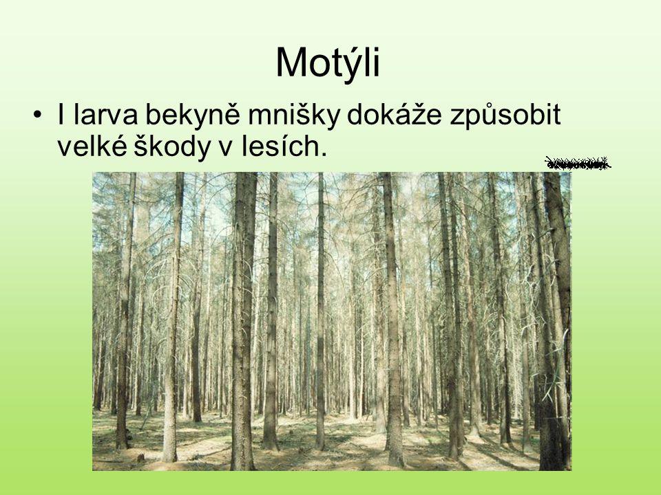 Motýli I larva bekyně mnišky dokáže způsobit velké škody v lesích.
