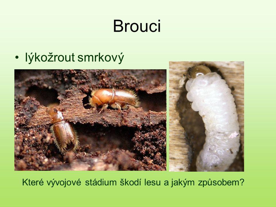 Brouci lýkožrout smrkový Které vývojové stádium škodí lesu a jakým způsobem?