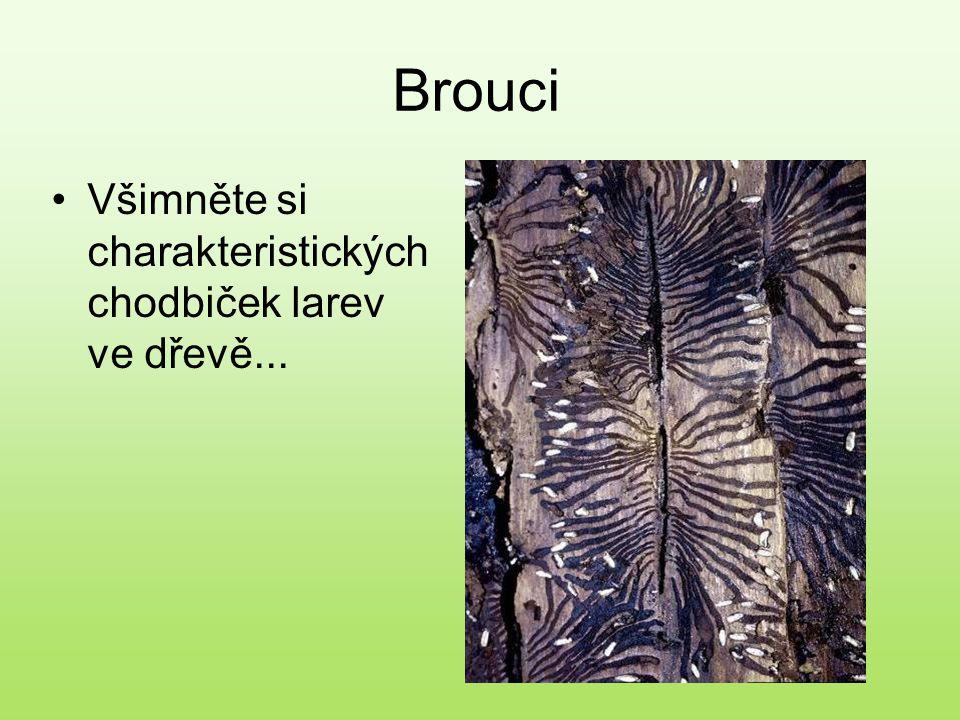 Brouci Všimněte si charakteristických chodbiček larev ve dřevě...