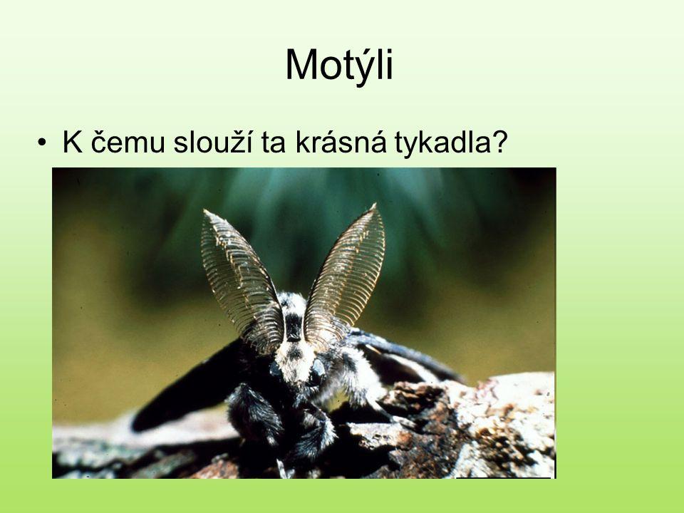 Motýli K čemu slouží ta krásná tykadla?