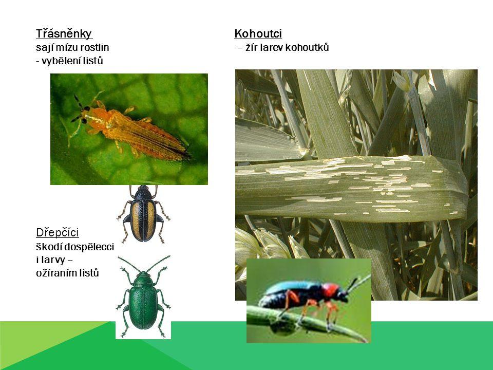 Třásněnky Kohoutci sají mízu rostlin – žír larev kohoutků - vybělení listů Dřepčíci škodí dospělecci i larvy – ožíraním listů