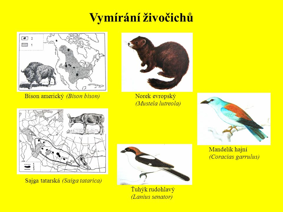 Bison americký (Bison bison) Sajga tatarská (Saiga tatarica) Vymírání živočichů Norek evropský (Mustela lutreola) Ťuhýk rudohlavý (Lanius senator) Man
