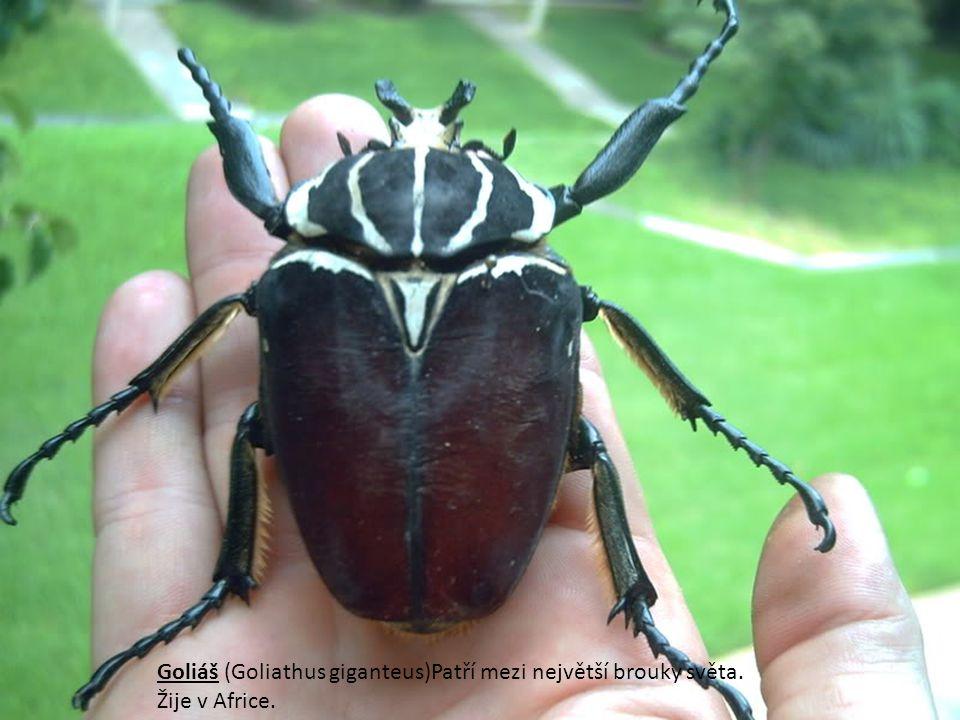 Goliáš (Goliathus giganteus)Patří mezi největší brouky světa. Žije v Africe.