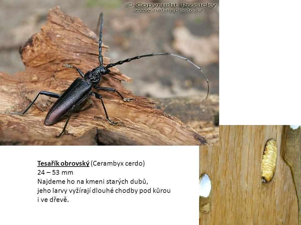 Tesařík obrovský (Cerambyx cerdo) 24 – 53 mm Najdeme ho na kmeni starých dubů, jeho larvy vyžírají dlouhé chodby pod kůrou i ve dřevě.