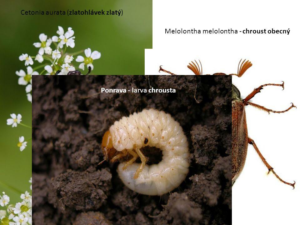 Cetonia aurata (zlatohlávek zlatý) Melolontha melolontha - chroust obecný Ponrava - larva chrousta