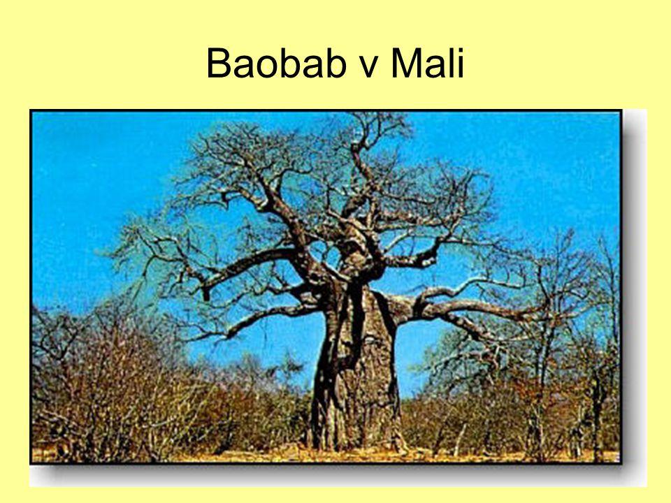 7.12.2004Zdeněk Bergman, G Teplice Baobab v Mali