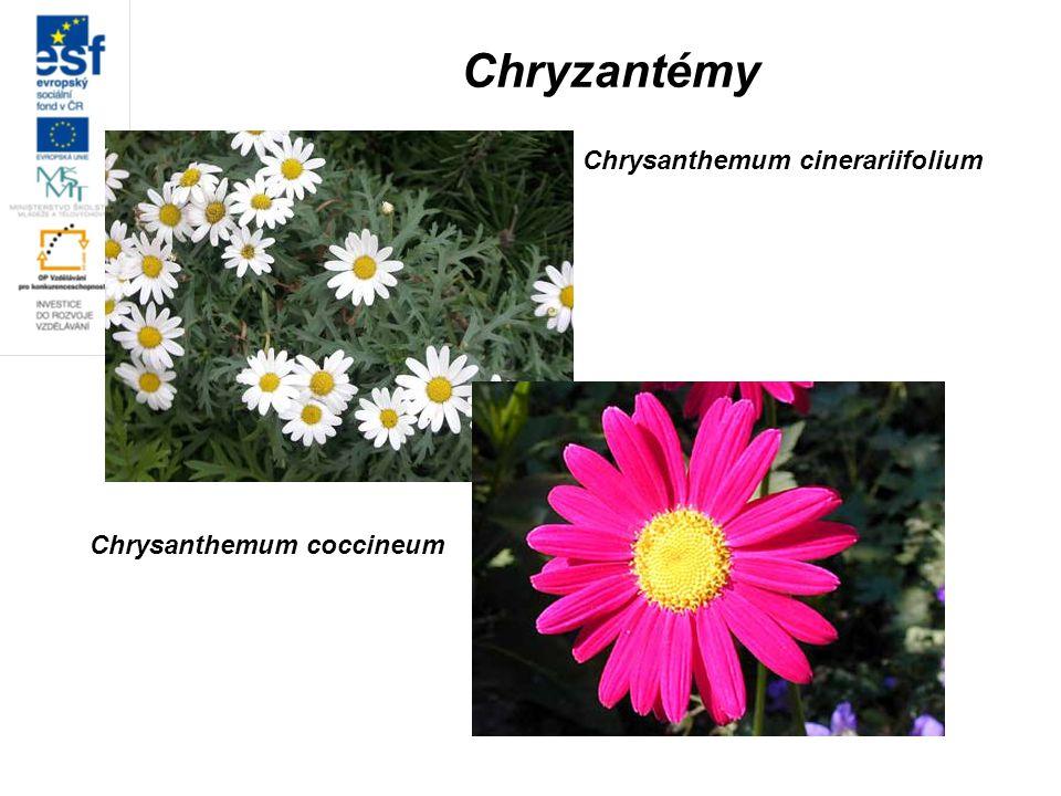 Chryzantémy Chrysanthemum cinerariifolium Chrysanthemum coccineum