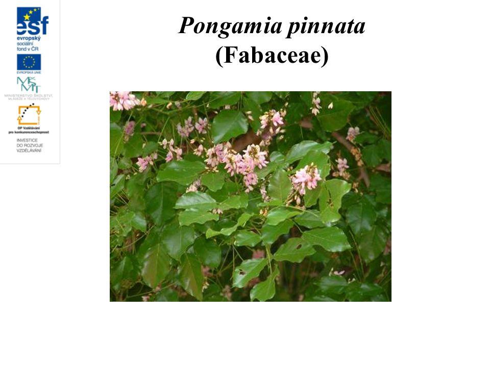 Pongamia pinnata (Fabaceae)