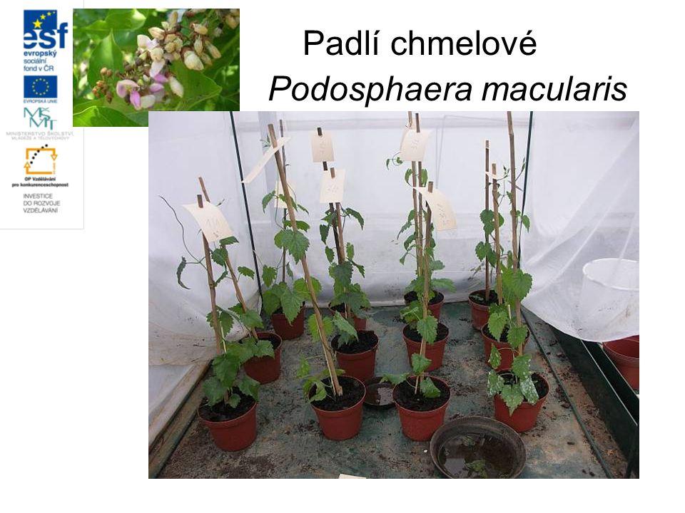 Padlí chmelové Podosphaera macularis