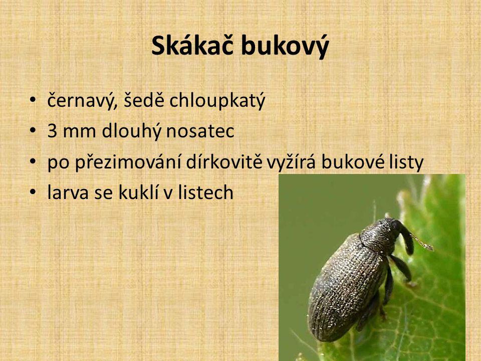 Skákač bukový černavý, šedě chloupkatý 3 mm dlouhý nosatec po přezimování dírkovitě vyžírá bukové listy larva se kuklí v listech