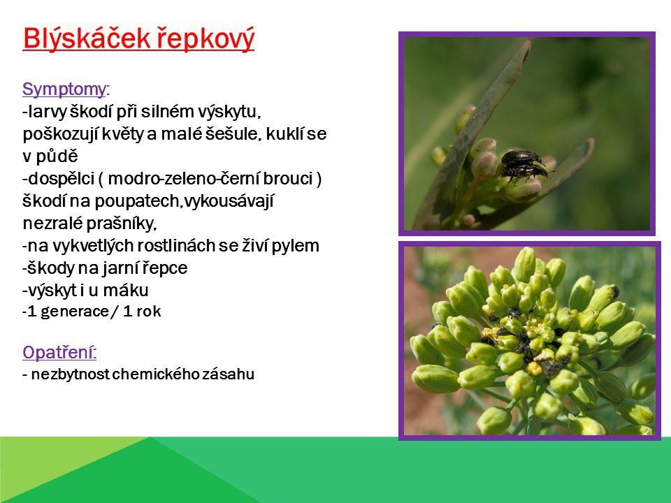 Blýskáček řepkový Symptomy: -larvy škodí při silném výskytu, poškozují květy a malé šešule, kuklí se v půdě -dospělci ( modro-zeleno-černí brouci ) škodí na poupatech,vykousávají nezralé prašníky, -na vykvetlých rostlinách se živí pylem -škody na jarní řepce -výskyt i u máku -1 generace / 1 rok Opatření: - nezbytnost chemického zásahu