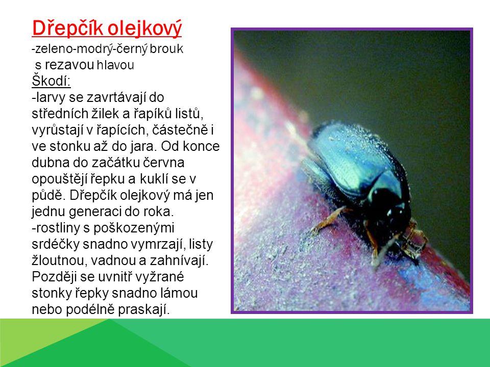 Dřepčík olejkový -zeleno-modrý-černý brouk s rezavou hlavou Škodí: -larvy se zavrtávají do středních žilek a řapíků listů, vyrůstají v řapících, částečně i ve stonku až do jara.