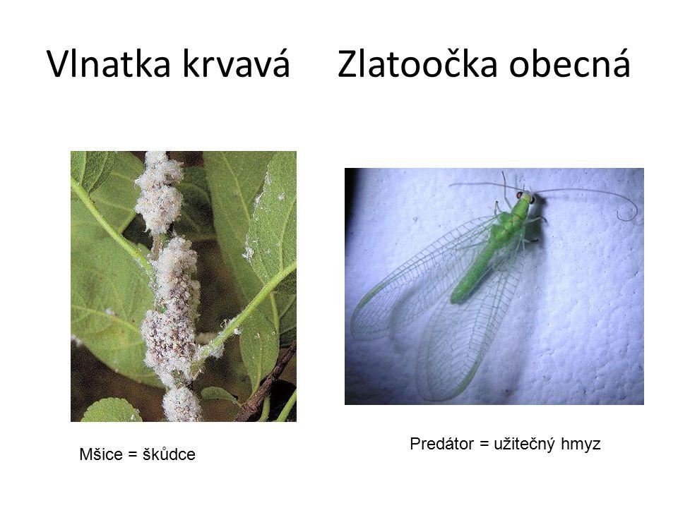 Vlnatka krvavá Zlatoočka obecná Mšice = škůdce Predátor = užitečný hmyz