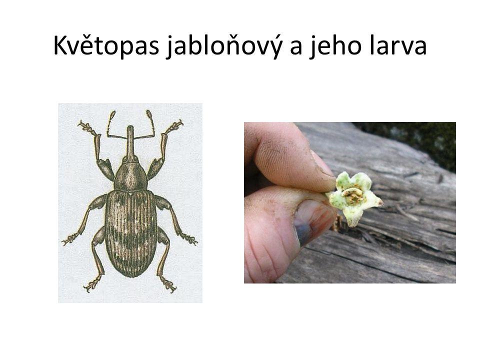 Květopas jabloňový a jeho larva