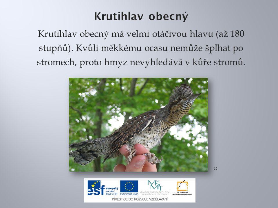 Krutihlav obecný Krutihlav obecný má velmi otáčivou hlavu (až 180 stupňů). Kvůli měkkému ocasu nemůže šplhat po stromech, proto hmyz nevyhledává v kůř