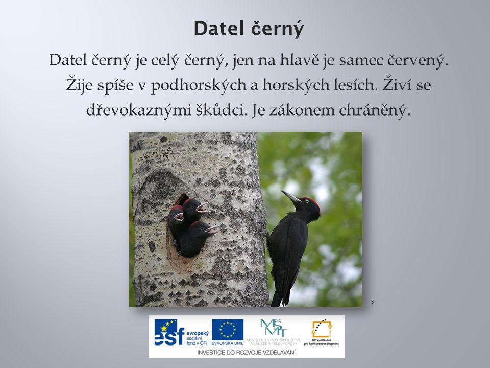 Datel č erný Datel černý je celý černý, jen na hlavě je samec červený. Žije spíše v podhorských a horských lesích. Živí se dřevokaznými škůdci. Je zák