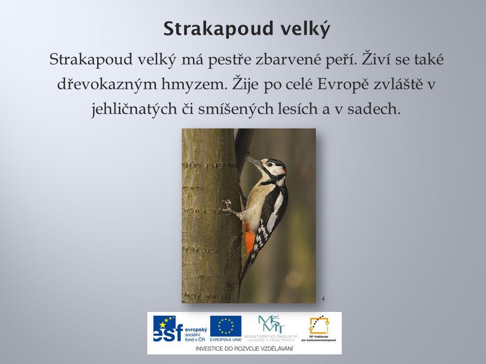 Strakapoud velký Strakapoud velký má pestře zbarvené peří. Živí se také dřevokazným hmyzem. Žije po celé Evropě zvláště v jehličnatých či smíšených le
